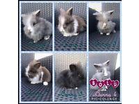 Beautiful double maned Lionhead bunny rabbits