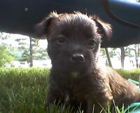 1 male Cairn Terrier puppy looking for a new home SPCA#0690