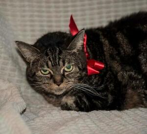 "Senior Female Cat - Tabby: ""Odie"" London Ontario image 1"