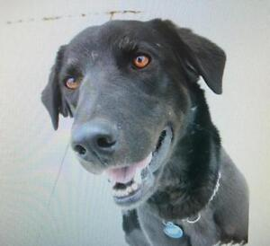 """Adult Male Dog - Labrador Retriever: """"Roo"""""""