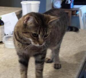 """Young Female Cat - Tabby (Brown): """"Kyla"""""""