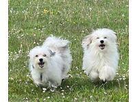 Bichon Havanese Puppies