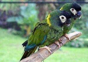 WANTED: Hand Raised Male Yellow Collared Macaw Baby Epping Whittlesea Area Preview