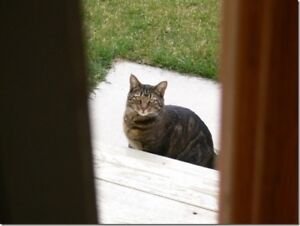 Still lost -  brown/grey cat with Tattoo in right ear #rfx134