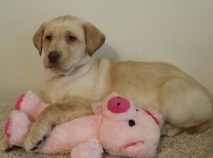 REG. LAB PUPPIES AVAILABLE