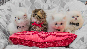 Persian Kittens Purebred White Male Doll Face-Superior Quality