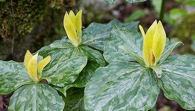 5 Yellow Trillium Wildflower Bulbs
