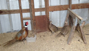 ringneck pheasants and hatching eggs