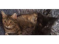 Black Long and Short Hair Kittens