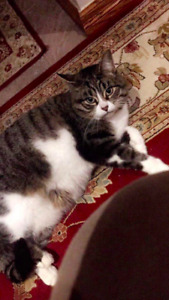 STILL LOST!!! BROWN & WHITE CAT (LOST SINCE OCT. 13, 2018)