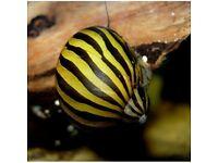 Zebra Nerite snail