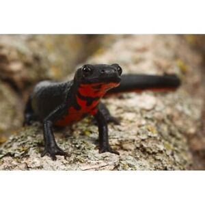 Chinese Firebelly Newts - PPU Sunday