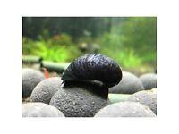 Helmet snail