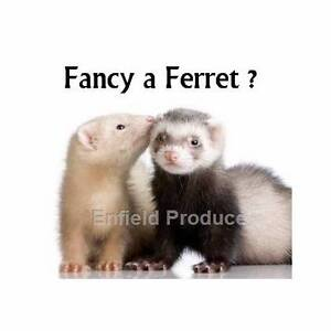 Baby Ferrets For Sale Enfield Burwood Area Preview