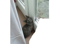 fluffy gray kitten