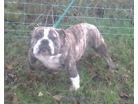 Pacific Bulldog x British Bulldog