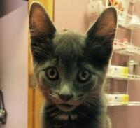 """Young Male Cat - Domestic Short Hair-Tabby: """"Sam (+ Dean)"""""""