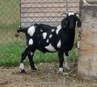 Spotted goat bucklings