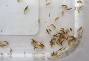 Freshwater scuds starter culture (live fish food)