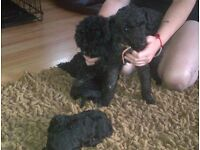 black toy poodle boy nearly 3 years old kc registered comoplete with papers