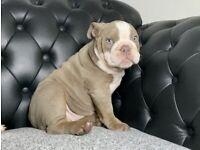 English bulldog puppy girl/female 13weeks