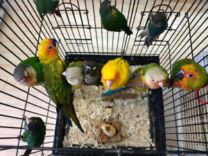 EXOTIC PETS NEW ARRIVAL OF CONURESS