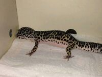 Leopard gecko for sale comes with full set up £80 (ono)