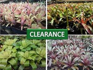 Bromeliads, tillandsias and other tropical plants Palmview Maroochydore Area Preview
