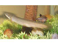 Bichir Live Fish 6 inches