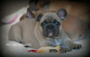 Top Quality Reg'd CH English and French Bulldog Pups London Ontario image 7