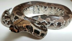Blood Pythons, Available for Sale