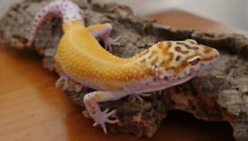 Leopard gecko | Reptiles For Sale - Gumtree