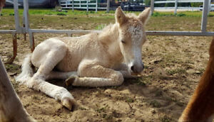 Hypoallergenic Curly horse alert! mom and filly! Package deal