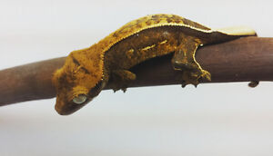 High percentage pin crested gecko
