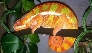 Blue bar chameleon