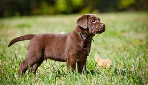 Looking for a purebreed chocolat lab