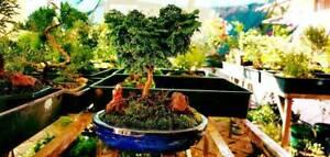 Japanese Bonsai tree for Sale