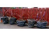 Unique Large Stone Pots - Red Star Cordyline Palm