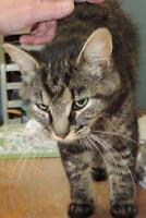 """Young Female Cat - Domestic Short Hair: """"Coulson"""""""