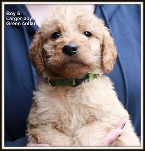 Multi Gen Non shed Labradoodle boys, 2 left to pick from
