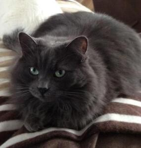 "Adult Female Cat - Domestic Long Hair: ""Fuzzy"" Cambridge Kitchener Area image 2"