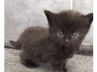 2 X kittens for sale ready next Thursday