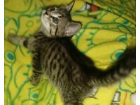X British shorthaired kitten