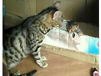 Bengal kitten female left