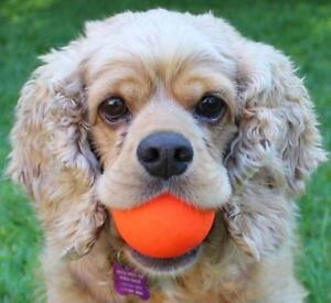 """Adult Male Dog - Cocker Spaniel: """"Theo~Foster Needed!"""""""