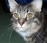 """Young Male Cat - Maine Coon: """"Gusto"""""""