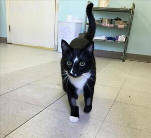 "Adult Male Cat - Domestic Short Hair: ""Joey"""
