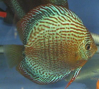 4 Live Discus Fish- RED SPOTTED GREEN DISCUS - RARE Tropical Fish