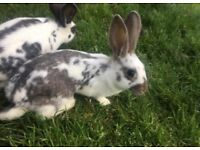 2 English Spotted rabbits