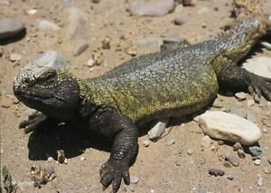 Female Uromastyx and setup priced for quick sale!